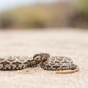 zmije mauretánská (Macrovipera mauritanica)