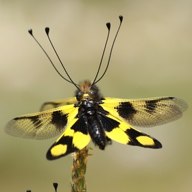 Ploskoroh pestrý (Libelloides macaronius)