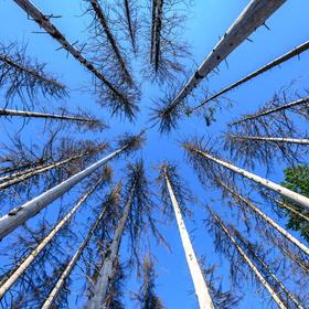 Koruny mrtvých stromů