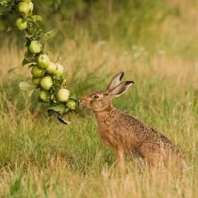 Zajíc polní a přírodní napaječka