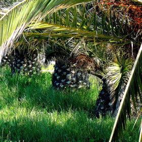 Řecko - palmový háj