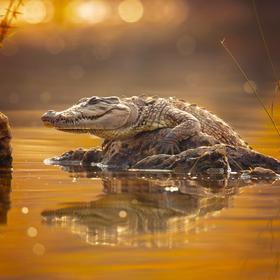 Krokodýl bahenní
