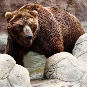 Medvěd kamčatský [Ursus arctos beringianus]