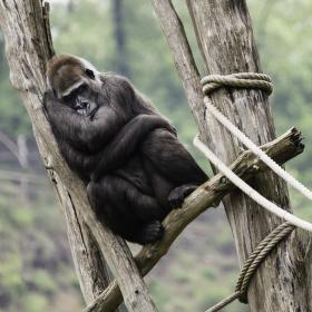 Po ránu v pavilonu goril