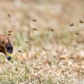 Včelojed lesní (Pernis apivorus) mladý pták II