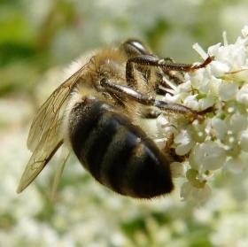 ...včela s postranními úmysly...