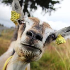Pozdrav od kozy