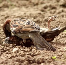 I vrabci mají své dny..