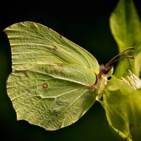 Žluťásek řešetlákový – Gonepteryx rhamni