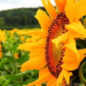 slunečnice přede mnou, slunečnice za mnou
