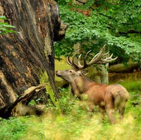 ve starám bukovém lese