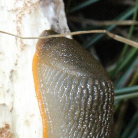 Slimák-žrout hub