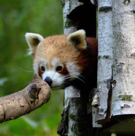 Panda červená - stydlivá