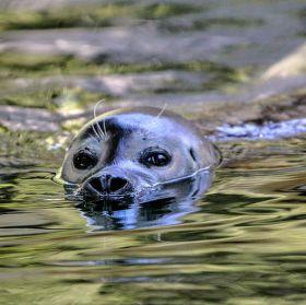 tuleň obecný (Phoca vitulina)