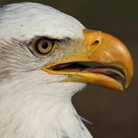 Orel bělohlavý