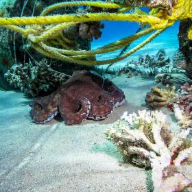 Relaxující chobotnice