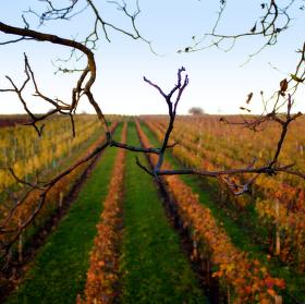 Podzimní vinohrady na moravě.