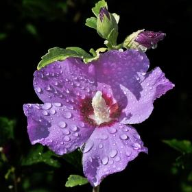 Ibišek po dešti