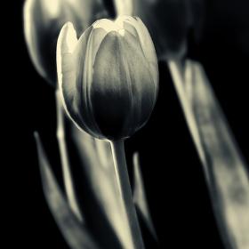 Zatiší s tulipány