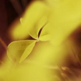 žluté opojení