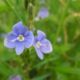 Luční květina