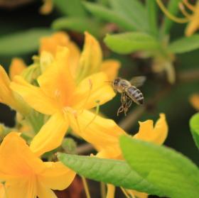 Včelka a Azalka venkovní