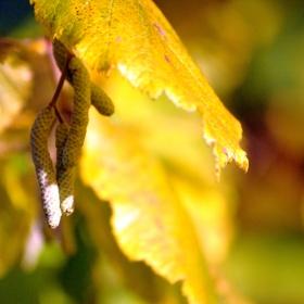 Lískový ořech v podzimu