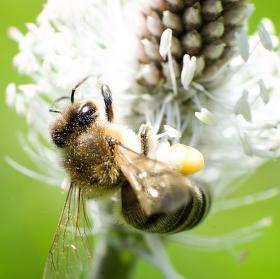 Včelka medonosná