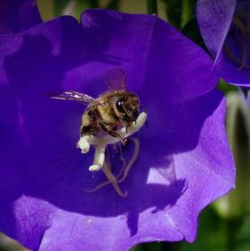 včelkia
