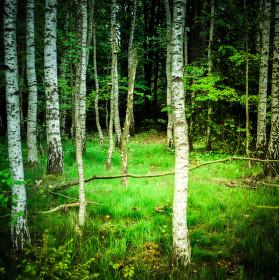 Březový lesík