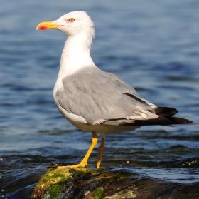 Bulgarian gull
