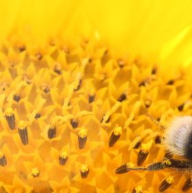 Sběr pylu
