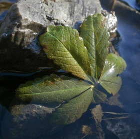 List ve vodě
