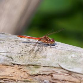 Vážka rudá...