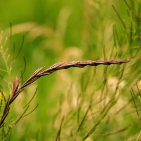 Jeden klásek trávy