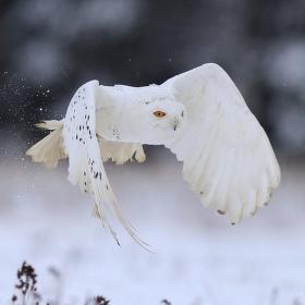 sněhurka.....