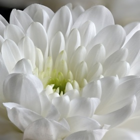 Bílá chryzantéma II