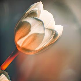 zátiší s tulipány V.