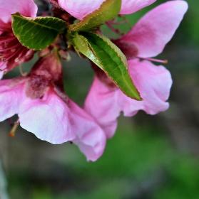 Když kvetou Broskvoně