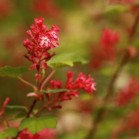 Jarní červená II