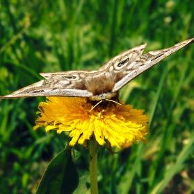 Motýlek II