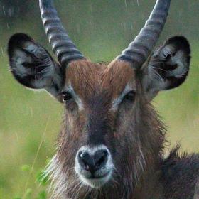 Voduška jelenovitá...