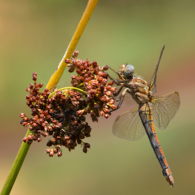 Vážka žlutoskvrnná - samička