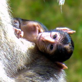 makak magot (macaca sylvanus)