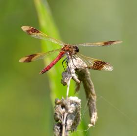 Vážka podhorní II