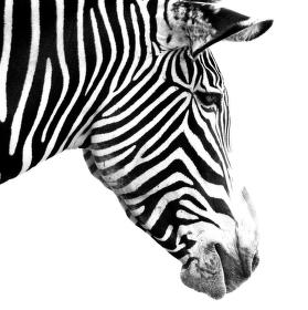trochu černé a je zebra