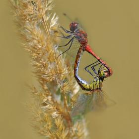 vážka rudá - páření