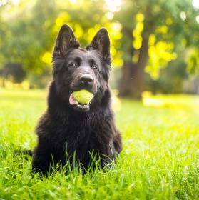 Pes s tenisákem