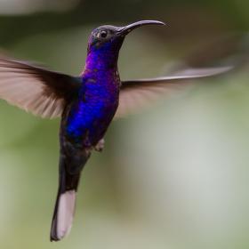 Kolibřík purpurový