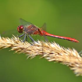 vážka rudá - sameček
